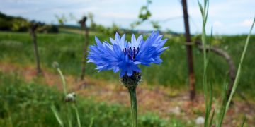 Flora am Hundsheimer Berg