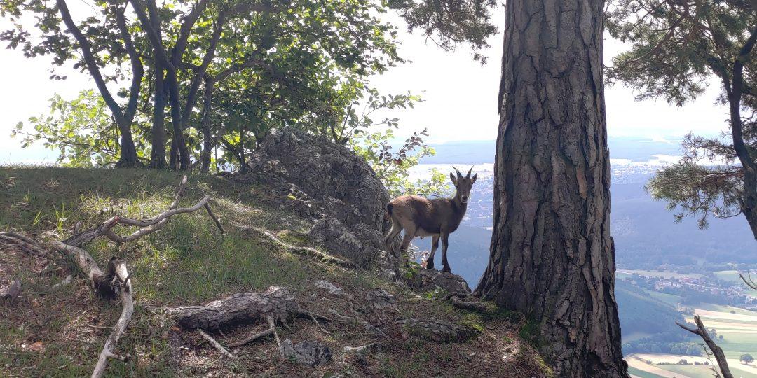 Junger Steinbock am Hohe Wand Plateau . Foto Simon Widy
